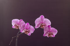Purple dotted orchid brunch in blossom on brown Stock Photography