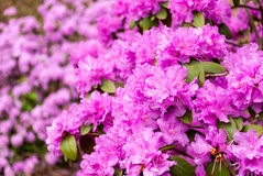 Purple double azalea flowers. Royalty Free Stock Photography