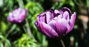Purple Double Late Tulip. Magnificent purple Double Late Tulip peony flowered tulip genus tulipa hybrid species under spring morning sun royalty free stock image