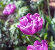Purple Double Late Tulips. Magnificent purple Double Late Tulips royalty free stock photography