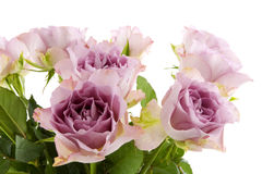 Purple double roses. In the studio royalty free stock photos