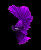 Purple dragon siamese fighting fish, betta fish isolated on blac. K background royalty free stock photography