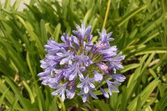 Purple Drooping agapanthus royalty free stock photos