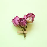 Purple dry rose flower on green background. Purple dry rose flower on green paper Stock Photography