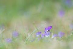 Purple dune pansy Stock Photo