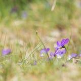 Purple dune pansy Royalty Free Stock Image