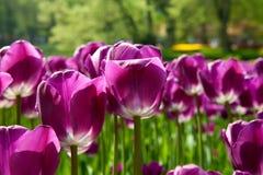 Purple Dutch tulip Tulipa. Flower in closeup Royalty Free Stock Image