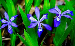 Purple Dwarf Crested Iris Wildflowers. An up close look at purple Dwarf Crested Wildflowers stock photos