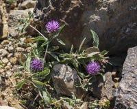 Purple Dwarf Desert Knapweed Thistle royalty free stock images