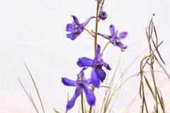 Purple Early Larkspur Wildflowers Delphinium nuttallianum Royalty Free Stock Photos