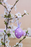 Purple easter eggs  hanging on cherry flowers Royalty Free Stock Images