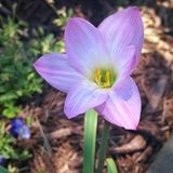 Purple  easter lily Royalty Free Stock Images