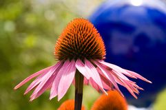 Purple Echinacea Royalty Free Stock Image