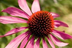 Free Purple Echinacea Royalty Free Stock Photos - 17157878
