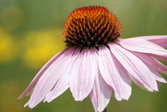 Purple echinacea closeup Stock Photos