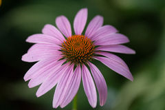 Purple echinacea closeup Royalty Free Stock Photography