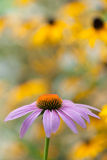 Purple echinacea closeup Royalty Free Stock Images