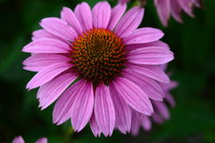 Purple Echinacea Flower closeup Royalty Free Stock Photos
