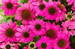 Purple echinacea flowers stock photography