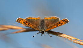 Purple-edged Copper butterfly Royalty Free Stock Photos