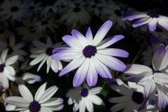 Purple-Edged Senetti Daisy Royalty Free Stock Photos