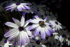 Purple-Edged Senetti Daisy Stock Photography
