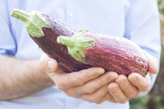 Purple eggplant (aubergine) in gardener's hands Royalty Free Stock Photography