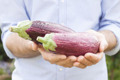 Purple eggplant (aubergine) in gardener's hands Royalty Free Stock Photos