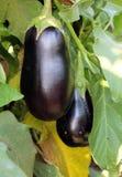 Purple eggplants growing on the bush Royalty Free Stock Photo