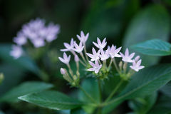 Purple Egyptian Star Cluster flower, Pentas Lanceolata, close up Stock Photos
