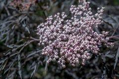 Purple elderflower