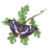 Purple Emperor. Watercolour painting of a purple Emperor butterfly stock illustration