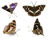 Purple Emperor Stock Photography