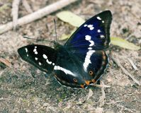 Purple emperor (Apatura iris) drinks water. (sucks moisture) on wet coastal soil. The color of the butterfly shimmers depending on the shooting angle, play of stock images