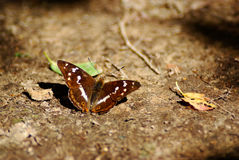 Purple emperor butterfly Stock Image