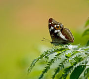 Purple Emperor butterfly Royalty Free Stock Image