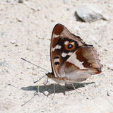 Purple Emperor butterfly (Apatura iris) with wings closed Stock Image