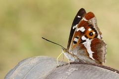 Purple Emperor Butterfly (Apatura iris). Royalty Free Stock Images