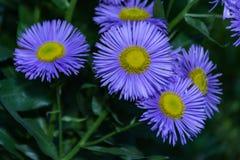 Purple erigeron uniflorus spring flower plant Royalty Free Stock Image