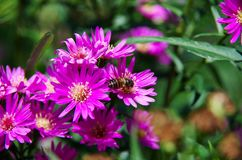 Aster amellus Daisy. Purple European Michaelmas Daisy. Honey and landmark, very beauty. Aster amellus stock image