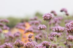 Purple European verbena flower is blossoming. The purple European verbena flowers is blossoming under the hot summer day royalty free stock image