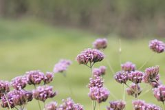 Purple European verbena flower is blossoming. The purple European verbena flowers is blossoming under the hot summer day stock images