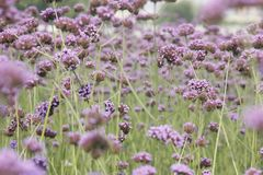 Purple European verbena flower is blossoming. The purple European verbena flowers is blossoming under the hot summer day stock photos