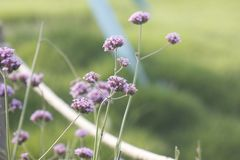 Purple European verbena flower is blossoming. The purple European verbena flowers is blossoming under the hot summer day stock photography