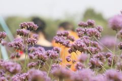 Purple European verbena flower is blossoming. The purple European verbena flowers is blossoming under the hot summer day stock photo