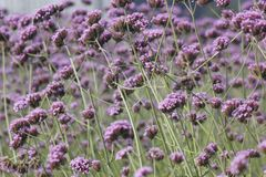 Purple European verbena flower is blossoming. The purple European verbena flowers is blossoming under the hot summer day royalty free stock images