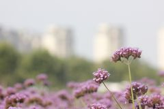 Purple European verbena flower is blossoming. The purple European verbena flowers is blossoming under the hot summer day royalty free stock photography