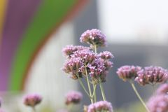 Purple European verbena flower is blossoming. The purple European verbena flowers is blossoming under the hot summer day royalty free stock photo