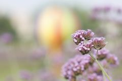 Purple European verbena flower is blossoming. The purple European verbena flowers is blossoming under the hot summer day royalty free stock photos