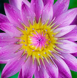 Purple exotic flower. Macro with water drops Royalty Free Stock Photos